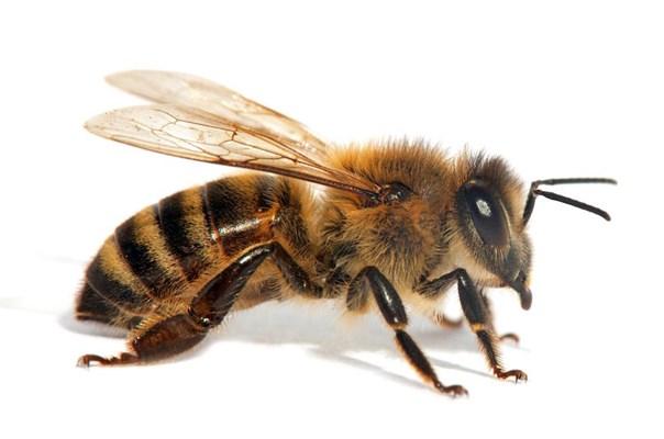 Lebah - Tradevistas