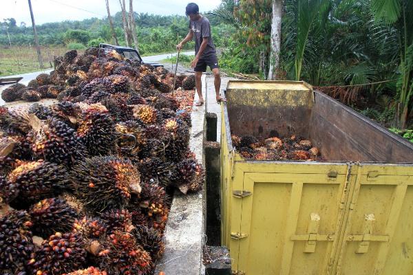 Pekerja memasukkan Tandan Buah Segar (TBS) kelapa sawit ke dalam truk - ANTARA FOTO/Syifa Yulinnas