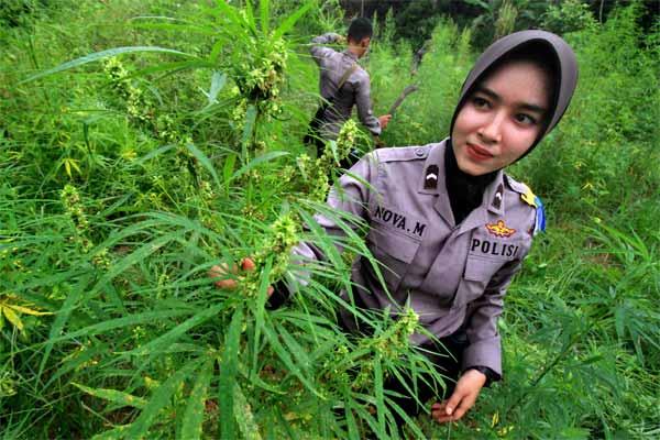 Nova M, Polisi Wanita Aceh Utara mencabuti batang tanaman ganja saat operasi ladang ganja, di Desa Cot Rawa Tu, Kecamatan Sawang, Aceh Utara, Aceh, Rabu (10/5). - Antara/Rahmad