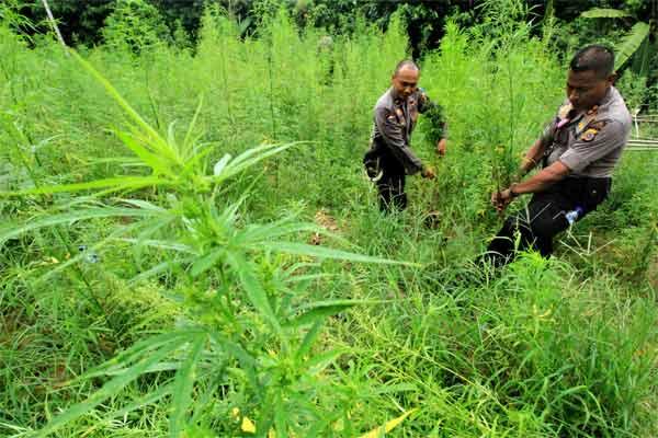 Aparat Kepolisian Polres Aceh Utara mencabut batang tanaman ganja saat operasi ladang ganja di Desa Cot Rawa Tu, Kecamatan Sawang, Aceh Utara, Aceh, Rabu (10/5). - Antara/Rahmad