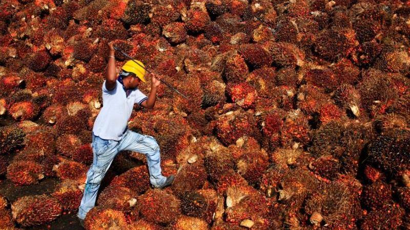 Seorang pekerja mengumpulkan buah kelapa sawit di dalam sebuah pabrik minyak sawit di Sepang, di luar Kuala Lumpur, Malaysia.  -  REUTERS / Samsul Said