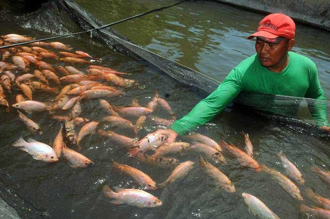 ilustrasi - Peternak memanen ikan nila air tawar di Cepokosawit, Boyolali, Jawa Tengah, Rabu (20/3/2019). - ANTARA/Aloysius Jarot Nugroho