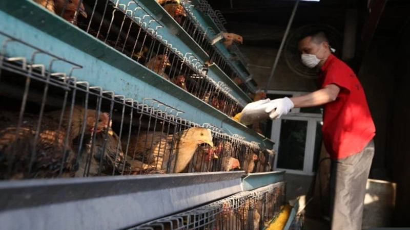Ilustrasi - Peternak memberi makan ayam - Istimewa