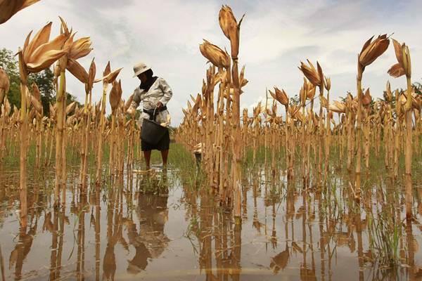 Petani memanen jagung. - JIBI/Desi Suryanto