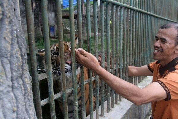Pawang memegang tubuh harimau sumatera (Panthera tigris sumatrae) yang baru saja memperoleh dua ekor anak, di Taman Margasatwa dan Budaya Kinantan, Bukittinggi, Sumatera Barat, Kamis (30/1/2020). - Antara/Muhammad Arif Pribadi