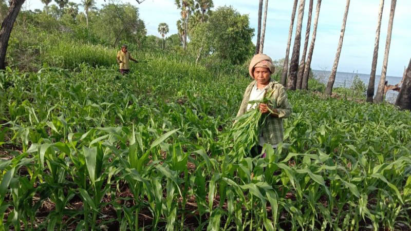 Para petani jagung di Desa Tuwagetobi, Kecamatan Witihama, Pulau Adonara, Kabupaten Flores Timur, Provinsi Nusa Tenggara Timur saat mengurus kondisi tanaman jagung mereka yang terserang hama ulat grayak, Senin (10/2/2020). - Antara/Kamilus Tupen)