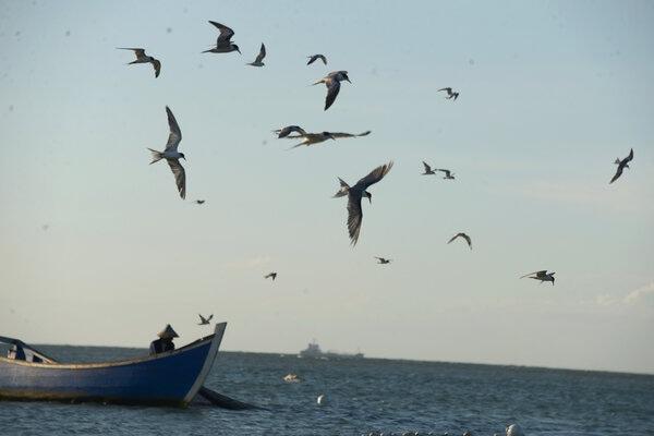 Sekelompok burung camar laut (Familia laridae) di perairan pantai Kampung Jawa, Banda Aceh, Rabu (12/2/2020). - Antara/Ampelsa