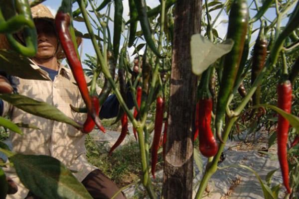 Ilustrasi tanaman cabai merah. - Antara/Saiful Bahri