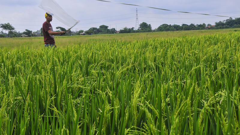 Petani mengusir hama burung pipit atau emprit secara manual dengan plastik di areal sawah daerah Tambun, Kabupaten Bekasi, Jawa Barat, Kamis (13/2/2020). -  ANTARA / Fakhri Hermansyah
