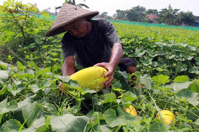 Petani memanen buah timun suri di Pinang, Tangerang, Banten, Senin (6/5/2019). - ANTARA/Muhammad Iqbal