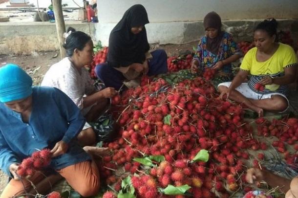 Sejumlah petani sedang mengikat buah rambutan hasil panen di Kabupaten Lebak, Banten. - Antara
