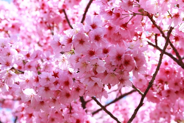 Bunga Sakura bermekaran - Ilustrasi/linxinjapan.wordpress.com