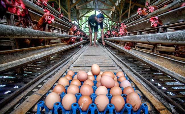 Peternak memanen telur ayam di peternakan kawasan Pakansari, Bogor, Jawa Barat, Kamis (13/2/2020). Pemerintah resmi menaikkan harga acuan daging dan telur ayam ras untuk mengimbangi penyesuaian tingkat harga di pasar yakni harga telur ayam di tingkat peternak dinaikkan dari Rp18 ribu-Rp20 ribu per kg menjadi Rp19 ribu-Rp21 ribu per kg sedangkan daging ayam ras dinaikkan dari Rp18 ribu-Rp19 ribu per kg menjadi Rp19 ribu-Rp20 ribu per kg. ANTARA FOTO - Yulius Satria Wijaya