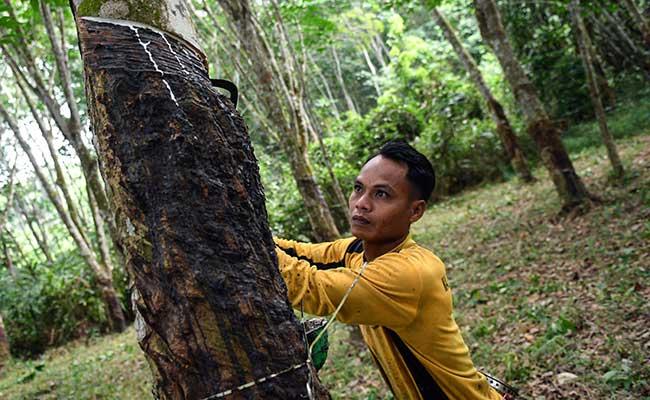 Petani memanen getah karet di Palembang, Sumatera Selatan, Jumat (31/1/2020). Dampak wabah virus corona, harga karet di Sumatera Selatan mengalami penurunan dari Rp17.151 per kilogram menjadi Rp14.950 per kilogram untuk kadar karet kering (KKK) 100 persen atau turun 12,8 persen sejak 20 Januari lalu. ANTARA FOTO - Nova Wahyudi