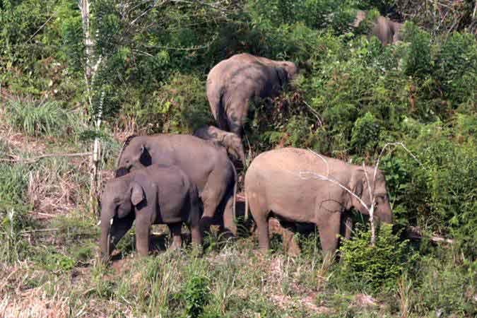 Kawanan gajah Sumatra (Elephas maximus sumatranus) liar berada di kebun warga di Desa Negeri Antara, Kecamatan Pintu Rime, Kabupaten Bener Meriah, Aceh, Minggu (10/2/2019). - ANTARA/Irwansyah Putra