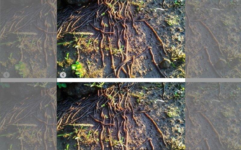 Cacing keluar dari tanah di Socakangsi, Jatinom, Klaten. - Instagram @kabar_klaten