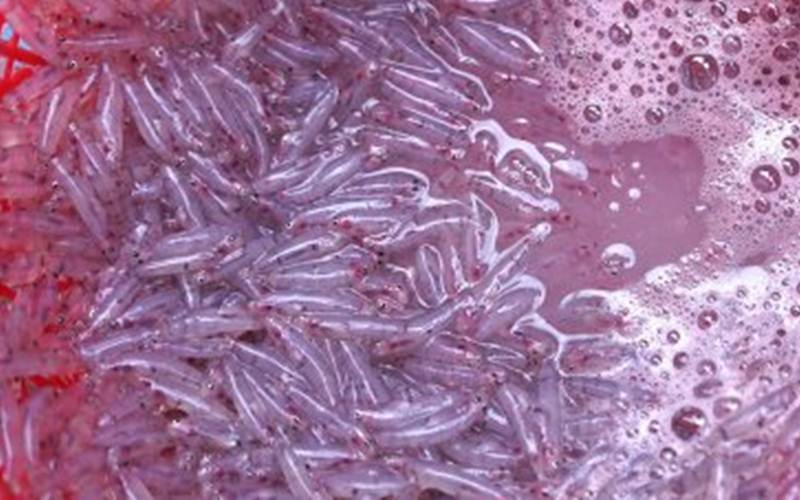 Ikan nike segar hasil tangkapan nelayan di Leato, Kota Gorontalo, Gorontalo, Sabtu (18/4/2020). Setelah enam bulan tidak muncul, ikan nike kembali musim dan dijual dengan harga Rp20 ribu/satu kaleng krimer kecil. - ANTARA/Adiwinata Solihin
