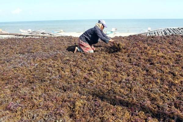 Nelayan menjemur rumput laut di Kabupaten Bantaeng, Sulawesi Selatan, Senin (4/9). - JIBI/Paulus Tandi Bone