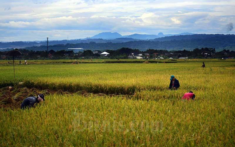 Petani memanen padi disawah garapannya di Bogor, Jawa Barat, Sabtu (11/4/2020). Bisnis - Abdurachman