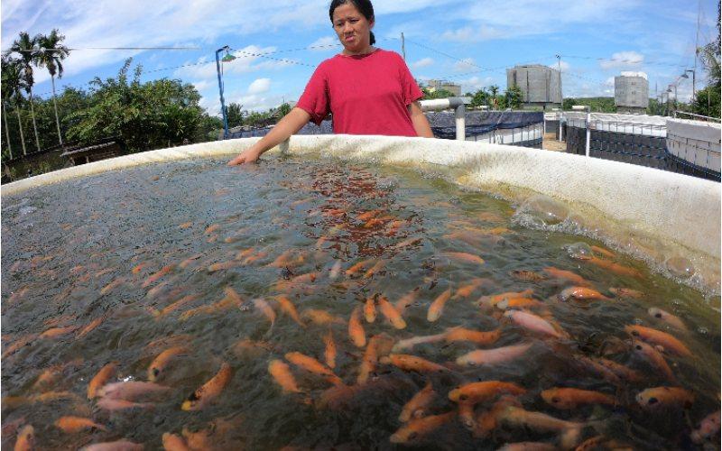 Warga memeriksa kondisi ikan nila berumur 3 pekan yang dibudidayakan menggunakan sistem bioflok. ANTARA