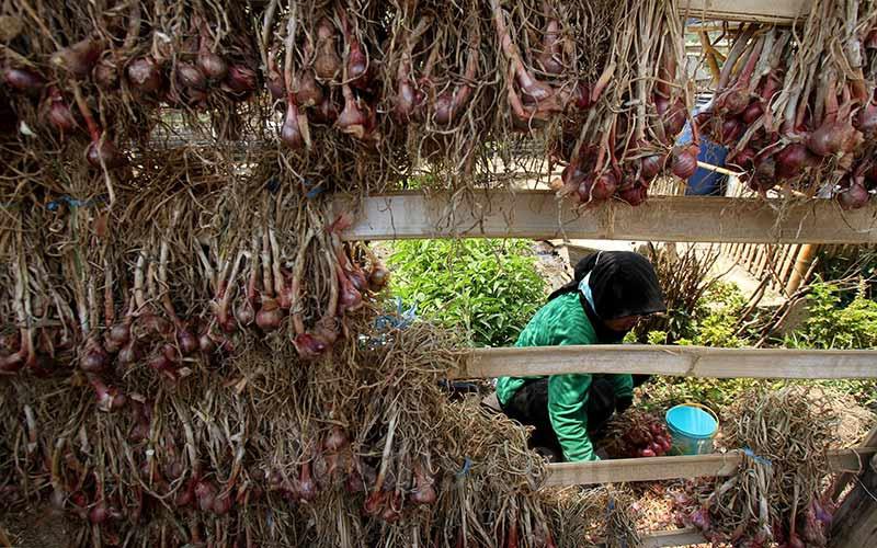 Petani menjemur bawang merah di desa Pujon Kidul, Kabupaten Malang, Jawa Timur, Kamis (26/9/2019). Bisnis - Arief Hermawan P