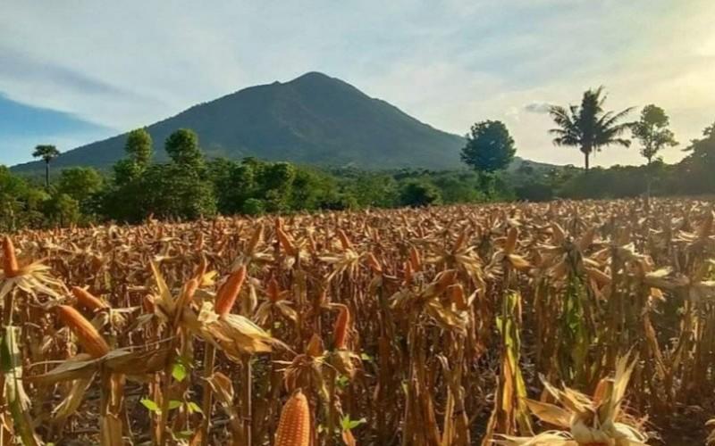 Jagung milik petani di Bayolewun, Kecamatan Witihama, Pulau Adonara, Kabupaten Flores Timur, Nusa Tenggara Timur. - Antara/Aloysius Lewokeda