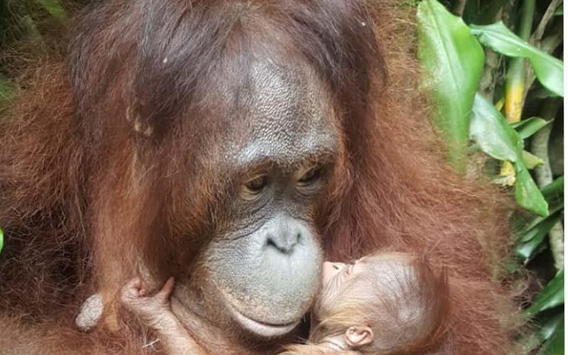 Bayi orang utan bernama Fitri ini merupakan orang utan Kalimantan (Pongo pygmaeus) dari induk Evi dan jantan Ipung, lahir di lembaga konservasi Taman Safari Indonesia (TSI) Cisarua. - Istimewa