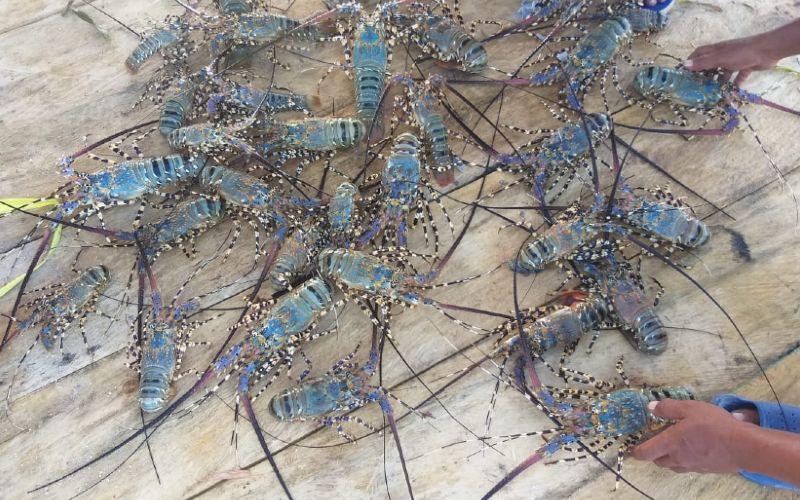 Lobster mutiara merupakan hewan konsumsi air laut yang bernilai ekonomis tinggi. Rasa dagingnya gurih dan lezat membuat permintaan pasar yang tinggi baik dari dalam maupun luar negeri. Peluang pembudidayaan pun masih sangat terbuka. - KLHK