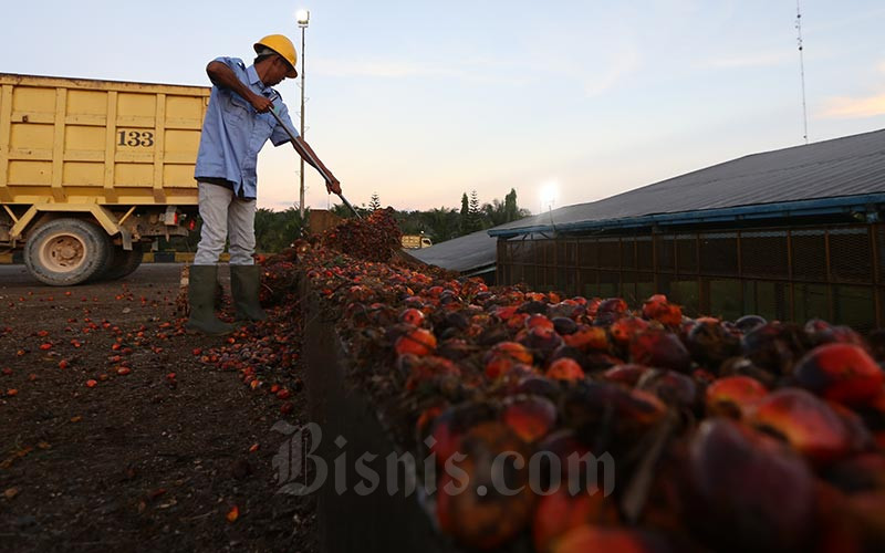 Petani membawa kelapa sawit hasil panen harian  -  Bisnis/Nurul Hidayat