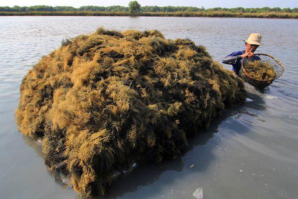 Pekerja memanen rumput laut Glacilaria Sp di tambak desa Pabean udik, Indramayu, Jawa Barat, Senin (17/4). - Antara/Dedhez Anggara