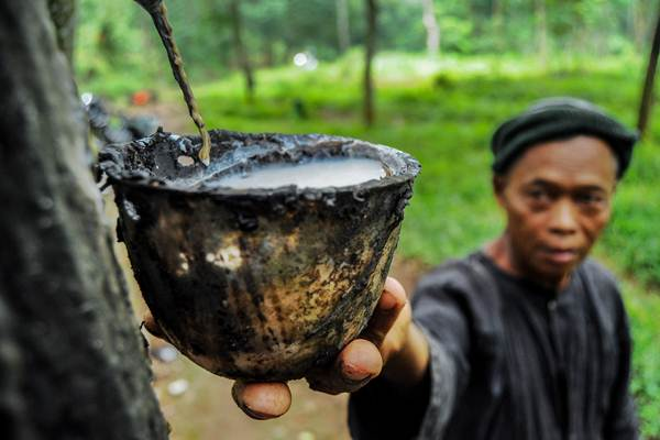 Pekerja mengumpulkan getah karet di area hutan PTPN IX, Kabupaten Pekalongan, Jawa Tengah, Kamis (11/1). - ANTARA/Harviyan Perdana Putra