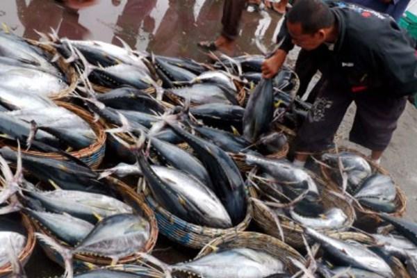 Ikan tuna. KKP berupaya untuk memberikan kemudahan logistik yang diperlukan guna memenuhi kebutuhan bahan baku Unit Pengolahan Ikan (UPI) dengan tujuan ekspor. - Antara/Ampelsa