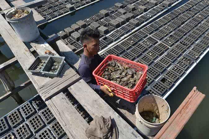 Petambak memanen kepiting soka hasil budi daya keramba apung di desa Cot Lam Keueh, kecamatan Meuraxa, Banda Aceh, Rabu (23/1/2019). - ANTARA/Ampelsa