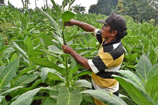 Petani memotong daun muda tembakau di Getasan, Kabupaten Semarang, Jawa Tengah, Senin (24/7). - ANTARA/Aditya Pradana Putra