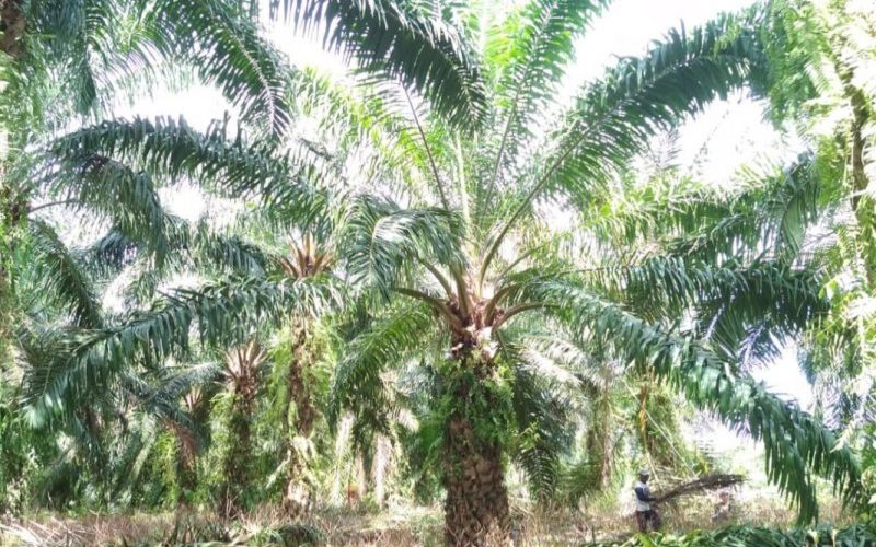 Lahan perkebunan kelapa sawit milik masyarakat petani di Kecamatan Ipuh, Kabupaten Mukomuko. - Antara