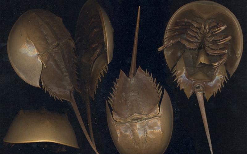 Ilustrasi belangkas Horseshoe crab / Dok. en.wikipedia.org