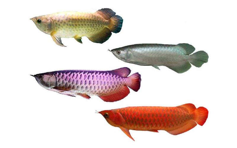 Ikan arwana merupakan salah satu ikan yang memiliki nilai jual sangat tinggi. Meski sudah tergolong Appendix I CITES, perdagangan arwana masih diperbolehkan dengan syarat merupakan ikan hasil pembesaran dari penangkaran. /KKP