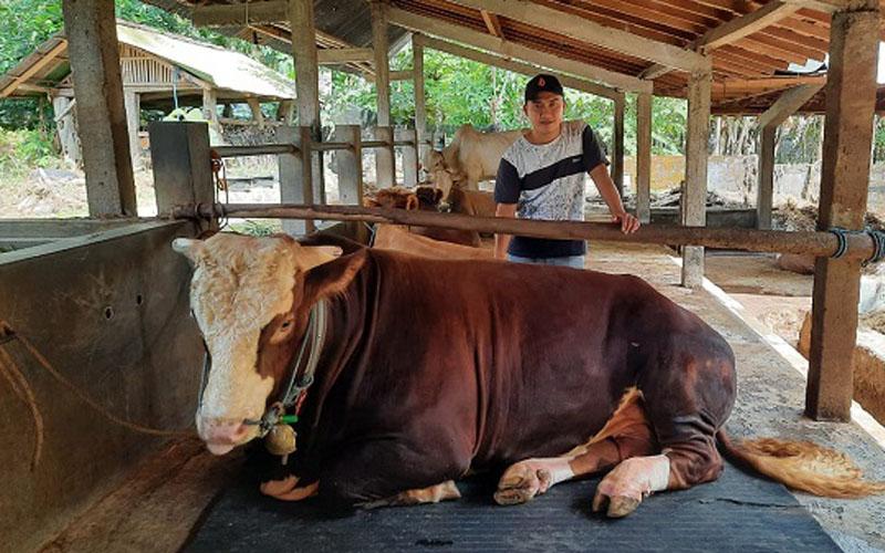 Gombloh sapi kurban jenis Simmental yang dipesan Presiden Joko Widodo (Jokowi) dari Bantul sehargaRp87 Juta. - JIBI/Jumali
