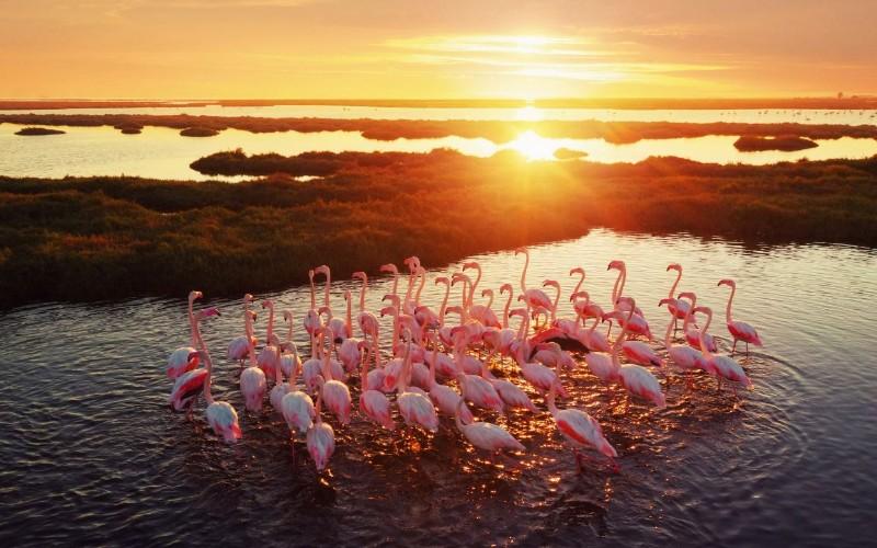 Flamingo Australia - Flinder Australy