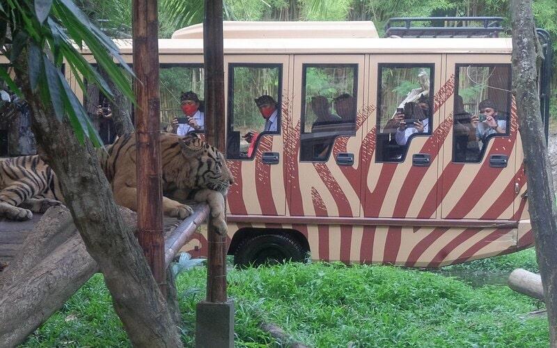Sejumlah wisatawan lokal Bali melihat harimau dari dalam kendaraan saat hari pertama penerapan normal baru tahap I di Bali Safari And Marine Park, Gianyar, Bali, Kamis (9/7/2020). Pada penerapan normal baru tahap I, obyek wisata kebun binatang tersebut kembali dibuka namun khusus untuk pengunjung lokal Bali dengan menerapkan protokol kesehatan dan mengatur jumlah pengunjung di setiap kendaraan untuk mencegah penyebaran Covid-19. - Antara/Nyoman Hendra Wibowo