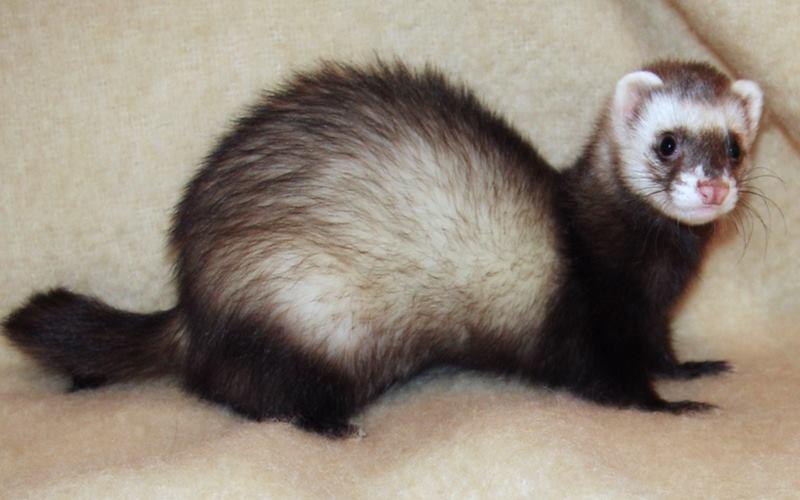 Hewan ferret (sejenis musang) dilaporkan terinfeksi virus flu babi baru jenis G4. - Istimewa