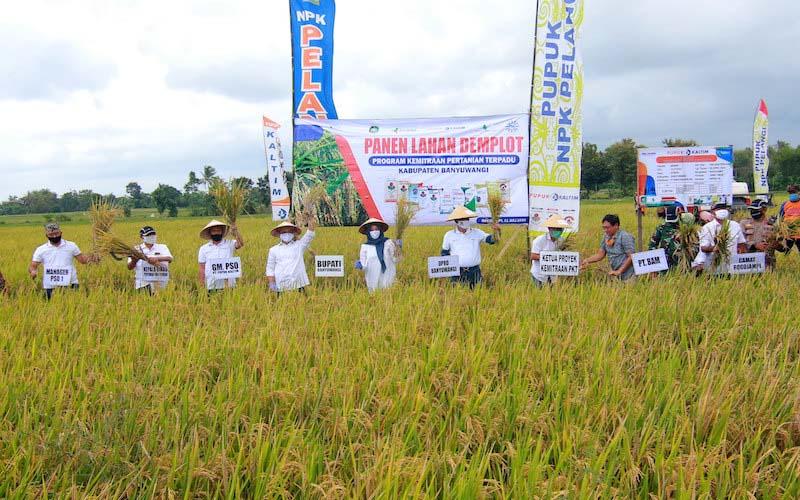 Forum pimpinan daerah Banyuwangi panen padi bersama pada acara pamen Demplot Pupuk Kaltim di Desa Bubuk Rogojampi, Banyuwangi, Jawa Timur, Sabtu (11/7/2020). Pupuk Kaltim telah mengembangkan konsep kemitraan pertanian berkelanjutan, guna meningkatkan produktivitas hasil pertanian padi. - JIBI/Istimewa