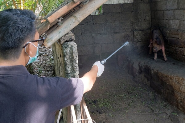 Tim medis dari Dinas Pertanian Kota Denpasar menyemprotkan disinfektan ke kandang babi milik warga di Denpasar, Bali, Rabu (5/2/2020). - Antara/Nyoman Hendra Wibowo