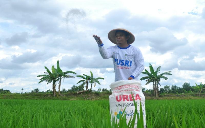 Petani padi melakukan pemupukan di lahan sawahnya dengan pupuk urea bersubsidi. istimewa