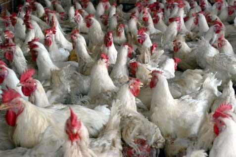 Ilustrasi peternakan ayam. - Bisnis