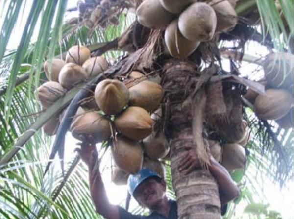 Petani sedang memetik kelapa di kebun miliknya. - Bisnis