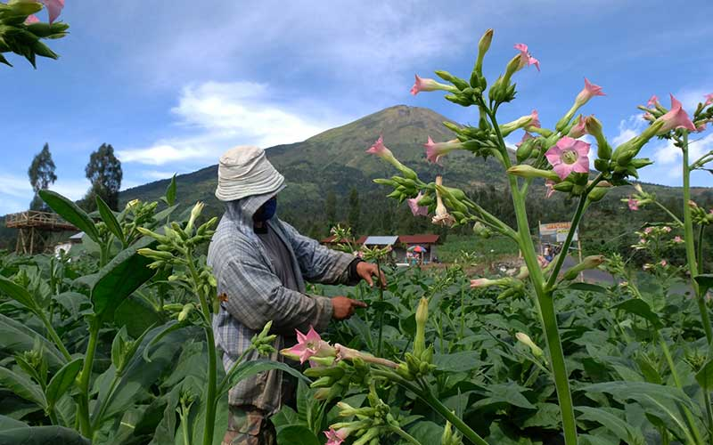 Petani merawat tanaman tembakau jenis Mantili di lereng gunung Sindoro Desa Canggal, Candiroto, Temanggung, Jawa Tengah, Jumat (19/6/2020). Sebagian besar petani di kawasan lereng gunung Sindoro, gunung Sumbing dan gunung Prau saat ini menanam tembakau yang puncak panen rayanya akan berlangsung pada bulan Agustus mendatang. ANTARA FOTO - Anis Efizudin