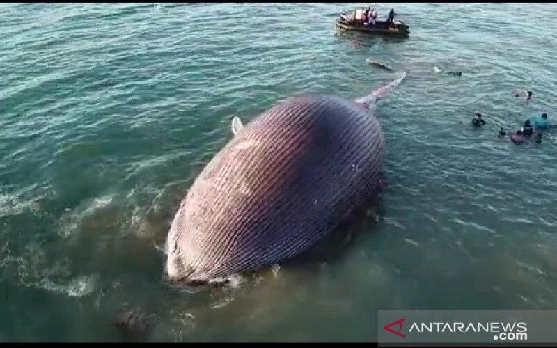 Bangkai paus biru terdampar di pesisir pantai Kupang, Selasa (21/7/2020). - Antara/BKSDA