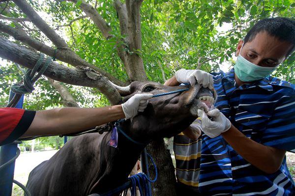 Petugas Kesehaan Hewan melakukan pemeriksaan kesehatan sapi kurban. Pemeriksaan kesehatan tersebut dilakukan untuk memastikan kondisi kesehatan hewan yang akan dikurbankan pada Idul Adha nanti.  - Antara