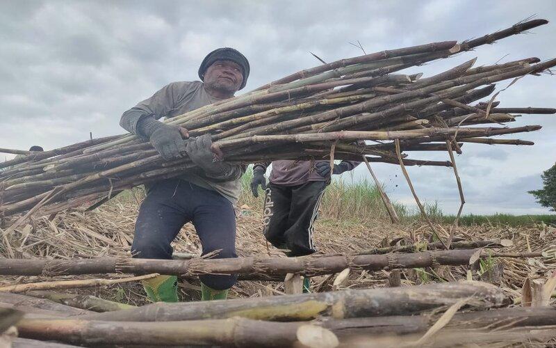 Ilustrasi pekerja panen tebu. - PTPN XI